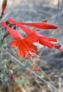 California Fuchsia Blog